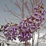 paulownia-flower-2